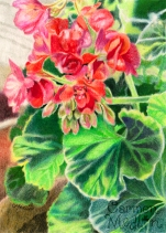 Geraniums 5x7 Colored pencil on paper